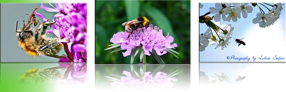 Wildbienen Informationen