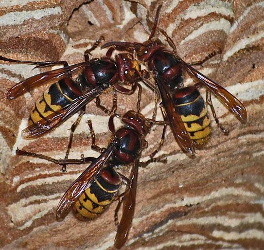 die hornisse hornissen in ihrem garten sind nicht aggressiv die insekten angenehme gartennachbarn. Black Bedroom Furniture Sets. Home Design Ideas